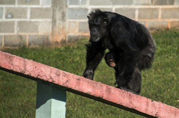 Monkeys Build Ladder To Escape Zoo