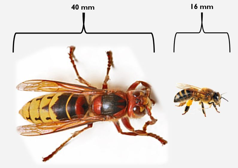 Asian Giant Hornet And North American Bee Comparison
