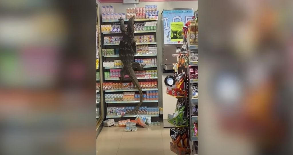 Monitor Lizard 7-Eleven Thailand Video